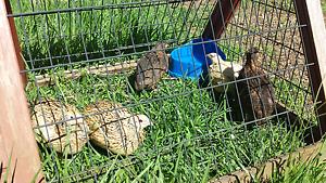 6 Japanese quails (5f, 1m) Sandy Beach Coffs Harbour Area Preview