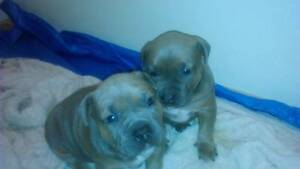 2 x English/American male Staffy pups for sale Campbelltown Campbelltown Area Preview