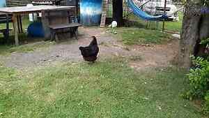 Australorp and sussex hens available Albion Park Shellharbour Area Preview