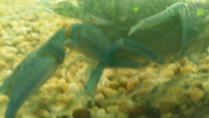 Yabbies 3 to 4 cm Seabrook Hobsons Bay Area Preview