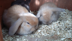 Cashmere lop bunnies Warragul Baw Baw Area Preview