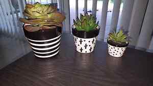 Fake succulent plants Warner Pine Rivers Area Preview