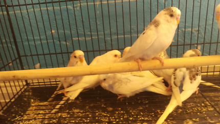 Baby pied budgies