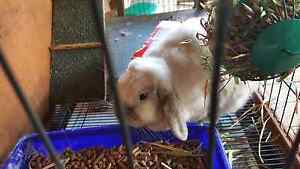 White lop earred rabbit with hutch Baldivis Rockingham Area Preview