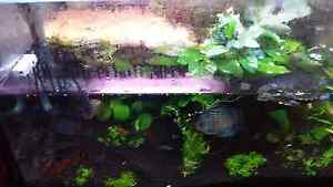 Discus fish and more fishs Noble Park Greater Dandenong Preview