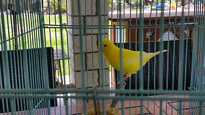 Yellow canary with cage and food Burpengary Caboolture Area Preview