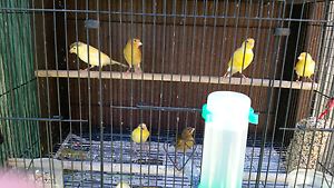baby canaries Currans Hill Camden Area Preview