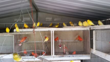 Canaries for  sale Toowoomba 4350 Toowoomba City Preview