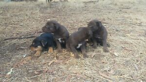 Kelpie Puppys
