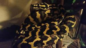 Bright yellow/black Jungle Python and enclosure Gumdale Brisbane South East Preview