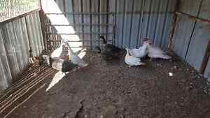 Assorted Ducks for sale Gawler Belt Gawler Area Preview