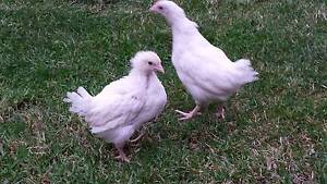 9 WEEK OLD LEGHORN PULLETS FOR SALE $20EACH - HY LINE LEGHORNS Northcote Darebin Area Preview