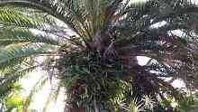 Date palm trees Wynnum Brisbane South East Preview
