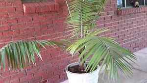 Kentya palm in large pot Camden Park West Torrens Area Preview
