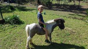Miniature stallion 4yr old Medowie Port Stephens Area Preview