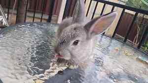 3 Eight & Twelve Week Old Male Bunnies Revesby Heights Bankstown Area Preview