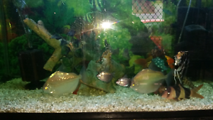 Heaps of fish for sale... closing tank down and want to clear out Elizabeth Playford Area Preview
