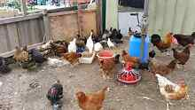 Mix of chickens for sale Thomastown Whittlesea Area Preview