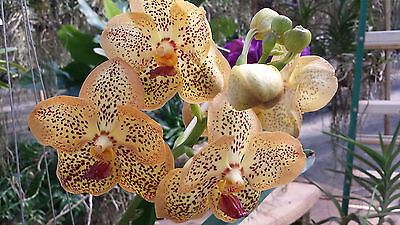 Orchid Vanda Sanchai Gold Spot In Spike Bloom Exotic Tropical Plant