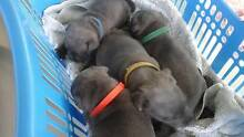 Blue Staffy Pups Narangba Caboolture Area Preview