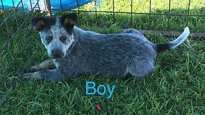 Blue Heeler Puppies Denman Muswellbrook Area Preview