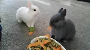 Netherland dwarf rabbit Diggers Rest Melton Area Preview