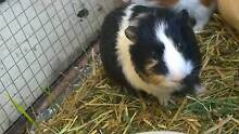 Guinea pigs looking for good home Canley Vale Fairfield Area Preview