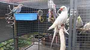 Princess Parrot Breeding Pair White Lime Bald Hills Brisbane North East Preview