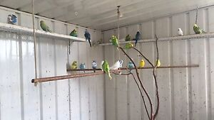 Budgies for sale Thomastown Whittlesea Area Preview