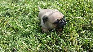 Baby Pug. Currently 5 weeks old. Ready to buy at 8 weeks old. Parramatta Parramatta Area Preview