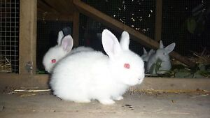 8 Purebred NZ White Baby Rabbits for sale - 6 weeks Stirling Adelaide Hills Preview