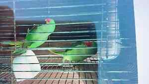 Alexandrine female 3 years old Punchbowl Canterbury Area Preview