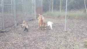 Boer Nanny with twins Londonderry Penrith Area Preview