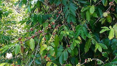 Coffee Bean Plant Seeds - BRAZILIAN PEABERRY - Tropical Plant - One Clobber Seeds