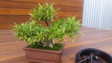 Bonsai Willow Leaf Fig