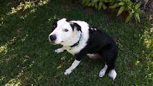 Border Collie needs a loving home Mackay Mackay City Preview