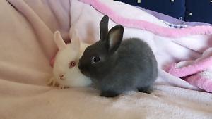 Pure Netherland Dwarf rabbits female 7weeks Pakenham Cardinia Area Preview