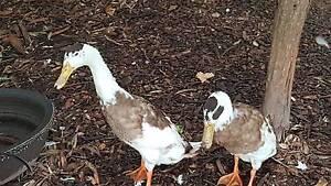Indian Runner Ducks 2x Drakes FREE Kangaroo Valley Shoalhaven Area Preview