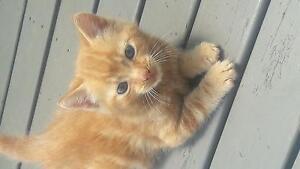 Kitten boy Stanhope Gardens Blacktown Area Preview