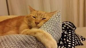 Ginger Cat lost in Wadalba Wadalba Wyong Area Preview