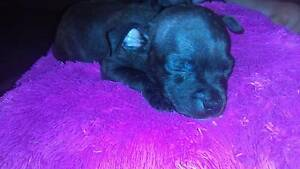 Mini English Staffies Deception Bay Caboolture Area Preview