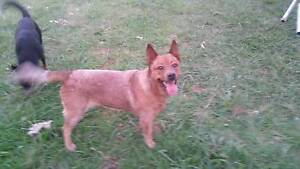 purebred red cattle dog without papers Kallangur Pine Rivers Area Preview
