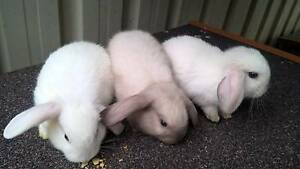 This weekend ONLY-MINI LOP X rabbit with hutch & accessories/food Wakeley Fairfield Area Preview
