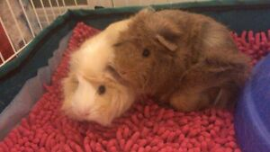 2 female guinea pigs for rehome