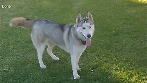 Pure breed sebarian husky ( female) Maddington Gosnells Area Preview