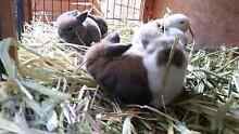 Babies Mini Lop will be available in the end of June Narraweena Manly Area Preview