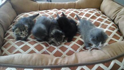 Beautiful kittens for sale! Jamisontown Penrith Area Preview