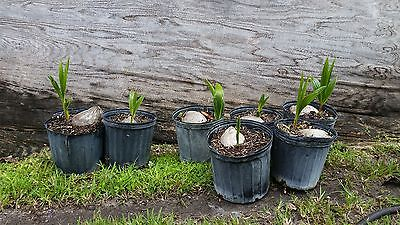 1 Coconut Palm Tree Sprouted  Malayan