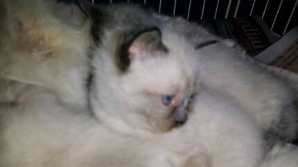 Kittens.blue eyes ragdoll Inglewood Stirling Area Preview