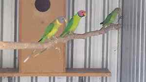 Baby Plumhead Parrots for taming. Gawler Gawler Area Preview